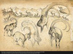 189 Ibex bézoar © marcello