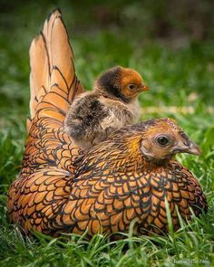 Laced wyandotte hen with her chick
