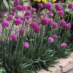 Allium border