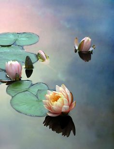 Lotus blossoms, floating on a mirrored sky