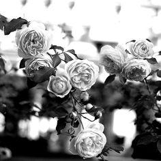 Black and White Roses.    Coco e L'Istrione