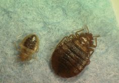head lice | UGA news: Along with head lice, we may now have to worry about bed ...