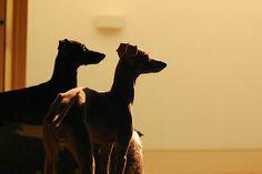 My Italiangreyhound. Sunset time☆