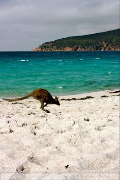 Australia - Kangaroos love beaches too : )