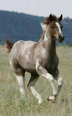 1000+ images about Strawberry Roan Horses on Pinterest ... - photo#33