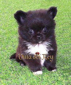Criadero de Chihuahuas Villa del Rey-Cachorros-Venta-Comprar Long Haired Chihuahua Puppies, Baby Chihuahua, Cute Puppies, Short Hair Cuts For Women, Short Hair Styles, Chihuahuas, Cute Animals, Portraits, Pets