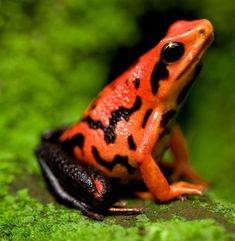 Frosch Illustration, Frog Species, Amazing Frog, Green Tree Frog, Poison Dart Frogs, Cute Frogs, Frog And Toad, Reptiles And Amphibians, Animal Photography