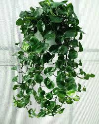 Resultado de imagen para planta colgantes en forma de corazon