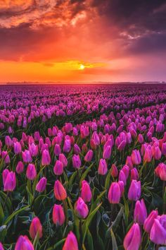 fields in the Netherlands 😍☺️🌷.It's an amazing view, isn't it? Nature Aesthetic, Flower Aesthetic, Landscape Photography, Nature Photography, Inspiring Photography, Landscape Art, Most Romantic Places, Tulip Fields, Wonderful Picture