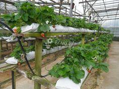 Грядки для выращивание клубники. Вертикальные грядки для клубники