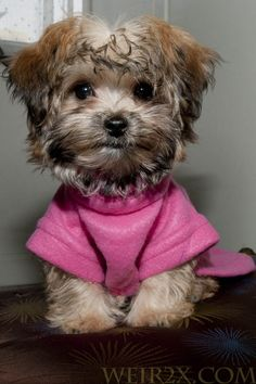 I want one!!  Morkie: Maltese Yorkie Mix. my little nugget looked just like this..now she's white!