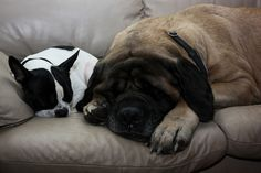 mastiff and his boston terrier sister by tattoo of a soul, via Flickr