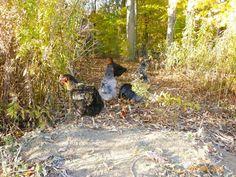 Rundle Woods - Organic duck chicken eggs pork skincare