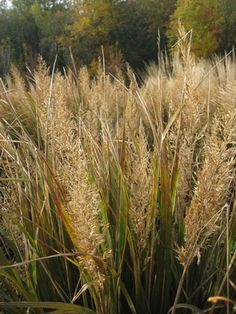 Calamagrostis brachytricha (Korean feather reed grass)