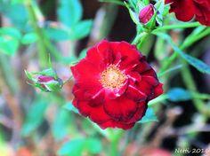 kleine, rote Rosenblüte