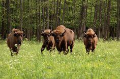 Żubry w Białowieskim Parku Narodowym.