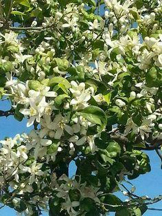 Lemon Flowers, Beautiful Gardens, Fine Art, Landscape, Fruit, Nature, California, Gardening, Colour