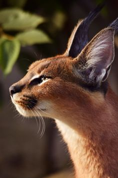 Photo by Kirjokerttu on fivehundredpx · · · Caracal / Small Wild Cats, Big Cats, Cool Cats, Cats And Kittens, Pretty Cats, Beautiful Cats, Animals Beautiful, Caracal Caracal, Cat Anatomy