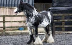 Black Paint Pinto Overo Splash Sabino Tobiano ToveroGypsy Vanner Horse Standing Stallion Gelding Mare