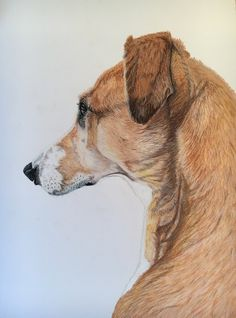 'Watching' by Sue Goddard. A3 study of my own pet lurcher Franki, watching out of a window. Done in Caran d'ache pastel pencil on Daler Rowney Smooth Heavyweight paper