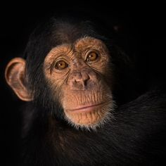 A portrait of of Missy at the Chimpanzee Conservation Centre in Somoria, Guinea