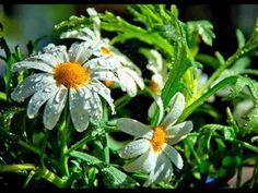 Цветы и капли дождя .  Музыка дождя