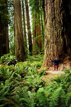 This should technically be in a different board, but I hope to visit the Redwood forrest some day  :)