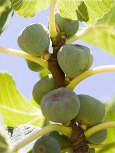 41 Best Fiddle Leaf Fig Care Images On Pinterest