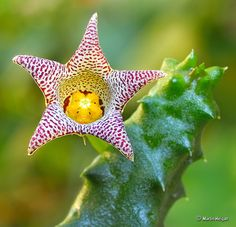 Piaranthus punctatus flower | Flickr - Photo Sharing!