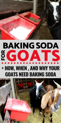 Raising Goats: Learn why you should be providing baking soda for goats; I'll teach you what it is for and how to feed this supplement to your goats. Keeping Goats, Raising Goats, Raising Farm Animals, Raising Chickens, Cabras Boer, Goat Playground, Goat Toys, Goat Shelter, Goat Pen