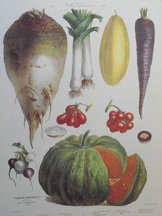 Cantaloupe, radish, tomatoes, carrot. Album Vilmorin. The vegetable garden (1891) - Swallowtail Garden Seeds
