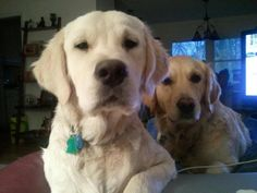 My golden retrievers. Yes..the cream colored one is a golden. He's about 6 months old in this shot.(@ Stephanie St Clair)