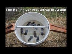 11 Mice In One Night. The Rolling Log Mouse Trap In Action. Best Mouse Trap Ever - YouTube