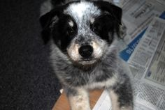 Adoption pending - Elvis is a male dog, Collie Mix, located at STARFISH ANIMAL RESCUE in PLAINFIELD , IL.