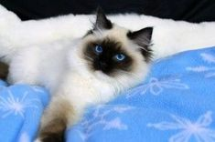 Ragdoll Kitten - Seal Mitted - Female - For Sale http://springvaledolls.com/ #ragdollcatmitted