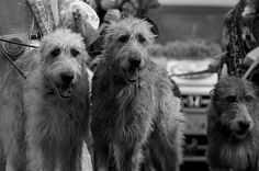 Had them as a kid - always wanted one as an adult - Irish wolfhounds. #irishwolfhound