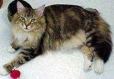 What to Expect when Maine Coon Kittens Grow Up -