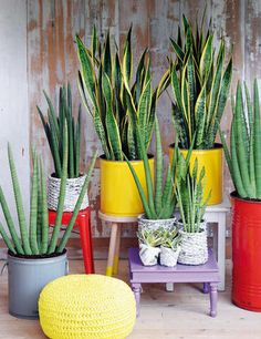 "Sansevieria: una planta casi indestructible ""almost indestructible plant"""
