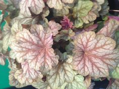 Heuchera 'Carnival Watermelon' Coral Bells-Peach pink emerges in the spring leaves eventually fading to a bronze green. Once the cooler temperature arrive the bright pink comes back. Hummingbirds love it