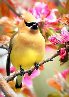 Cedar Waxwing feasting on crab apple blossoms. Photo by Erik Hovmiller.