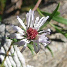 """""""http://fotomacro.tumblr.com/ Copyright © 2015 Foto Macro - All Rights Reserved #fall #autumn #macro #nature #photography #flower #wildflower #aster…"""""""