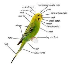 The external features of a budgie/parakeet. Budgie Parakeet, Budgies, Parakeet Colors, Command Conquer 3, Bird Calls, Weight Loss For Men, Australian Birds, Kinds Of Birds, Big Bird