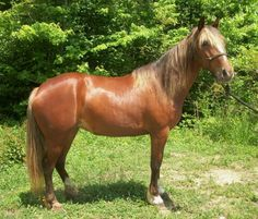 MOUNTAIN HORSES...Gorgeous!! - $500 (Whitley City)