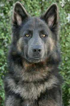 "Since he looks like a werewolf i would name him ""Lycan""! His color is absolutely beautiful I love German shepherds!"