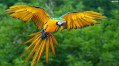 South America Parrot