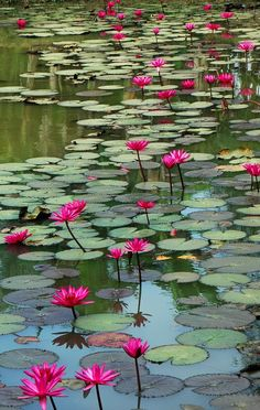 Bright pink waterlilies in waterlily pond. #DdO:) - pinned via cruint FLOWERS board with interesting photo name Nature's Paintbox. Notice the beautiful blue skies reflection in water.