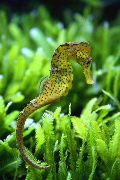 Aquarium Sea Horses for Sale | Can You Keep Seahorses as Pets? | Pets4Homes @Abbey Zaykoski