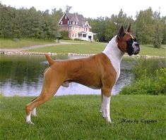Another Boxer.