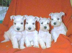 Puppy White Schnauzers
