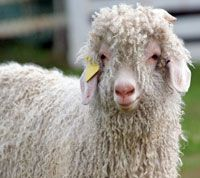 Follow these 7 basic steps for washing Angora goat fiber.     I have lots of Angora fiber to wash, glad this was on Pinterest.